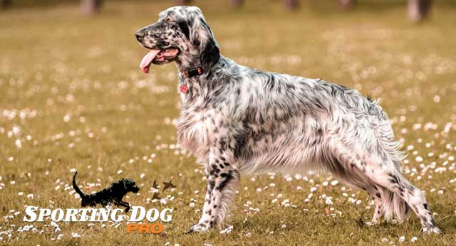 Breed Highlights: English Setter