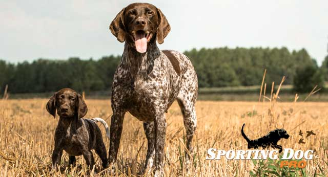 Casual Gun Dog Training
