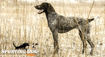 Breed Highlights: German Shorthaired Pointer