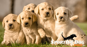 Hunting Dogs: How to Choose the Right Puppy