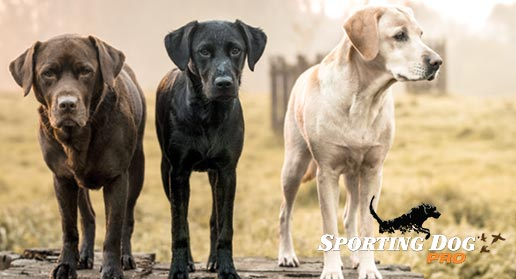 Breed Highlights: Labrador Retriever