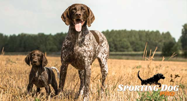 Pros and Cons of Spaying or Neutering Your Hunting Dog