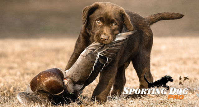 Puppy Retrieving: Getting Started