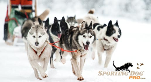 The Amazing Dogs of the Iditarod