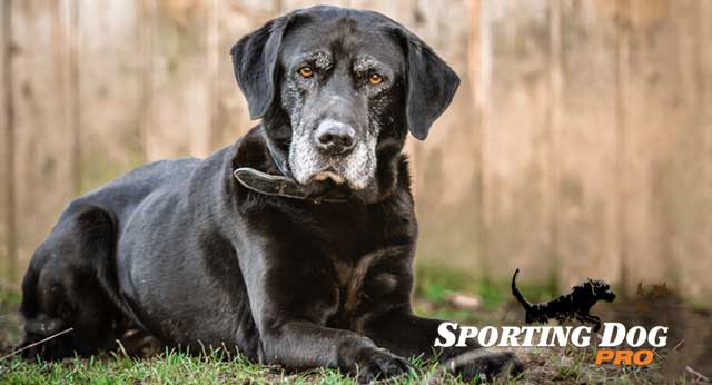Tips For Training An Older Dog