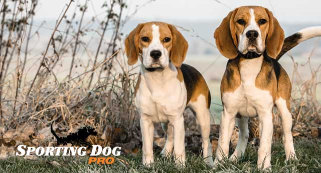 Training Your Beagle To Hunt Rabbits Sporting Dog Pro