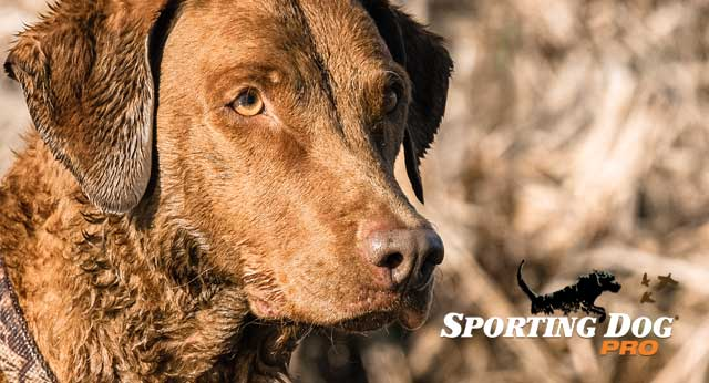 Training Your Hunting Dog: Steadiness and Trust