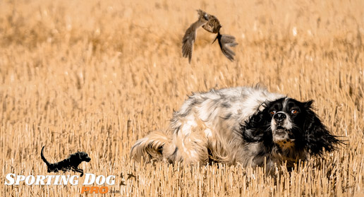 Utilizing Prey Drive For the Sporting Dog