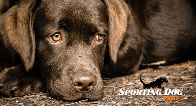 Flu Season and Your Hunting Dog