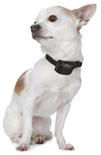 miniature-dog-wearing-bark-collar-eyenimal