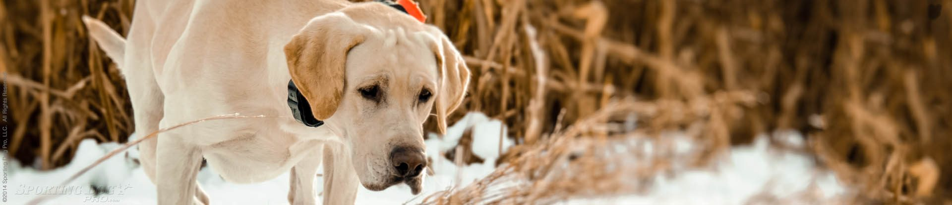 hunting dog wearing a dog training collar